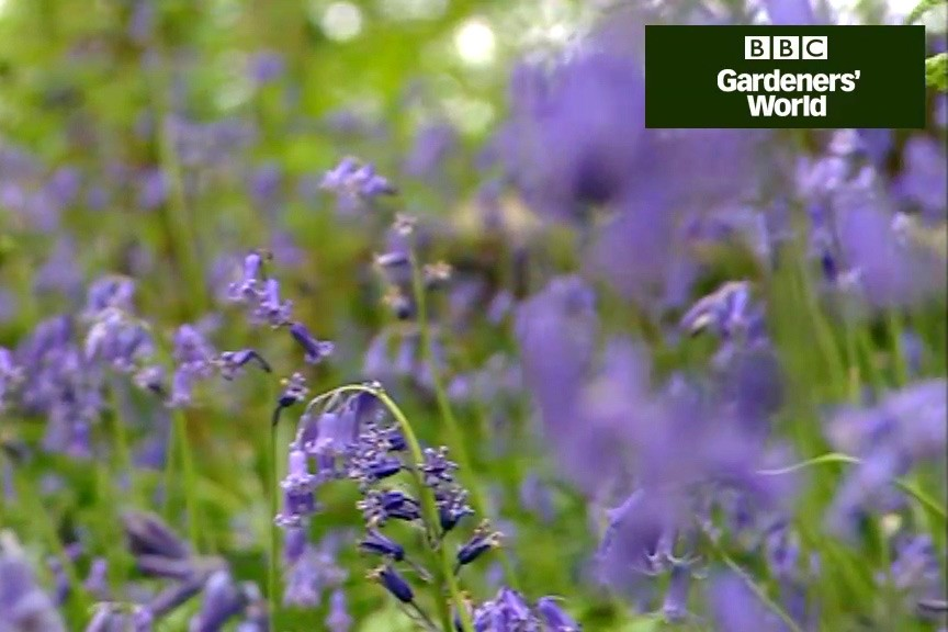 Growing bluebells from seed video