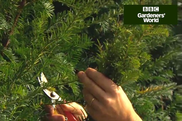 How to take yew cuttings