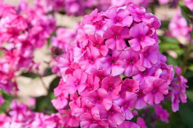phlox-paniculata-cherry-pink-4