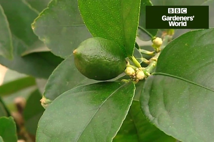 How to grow citrus plants video