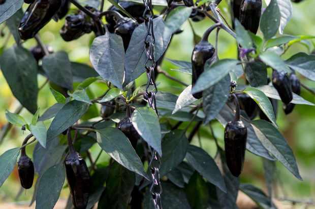 chilli-pot-black-4