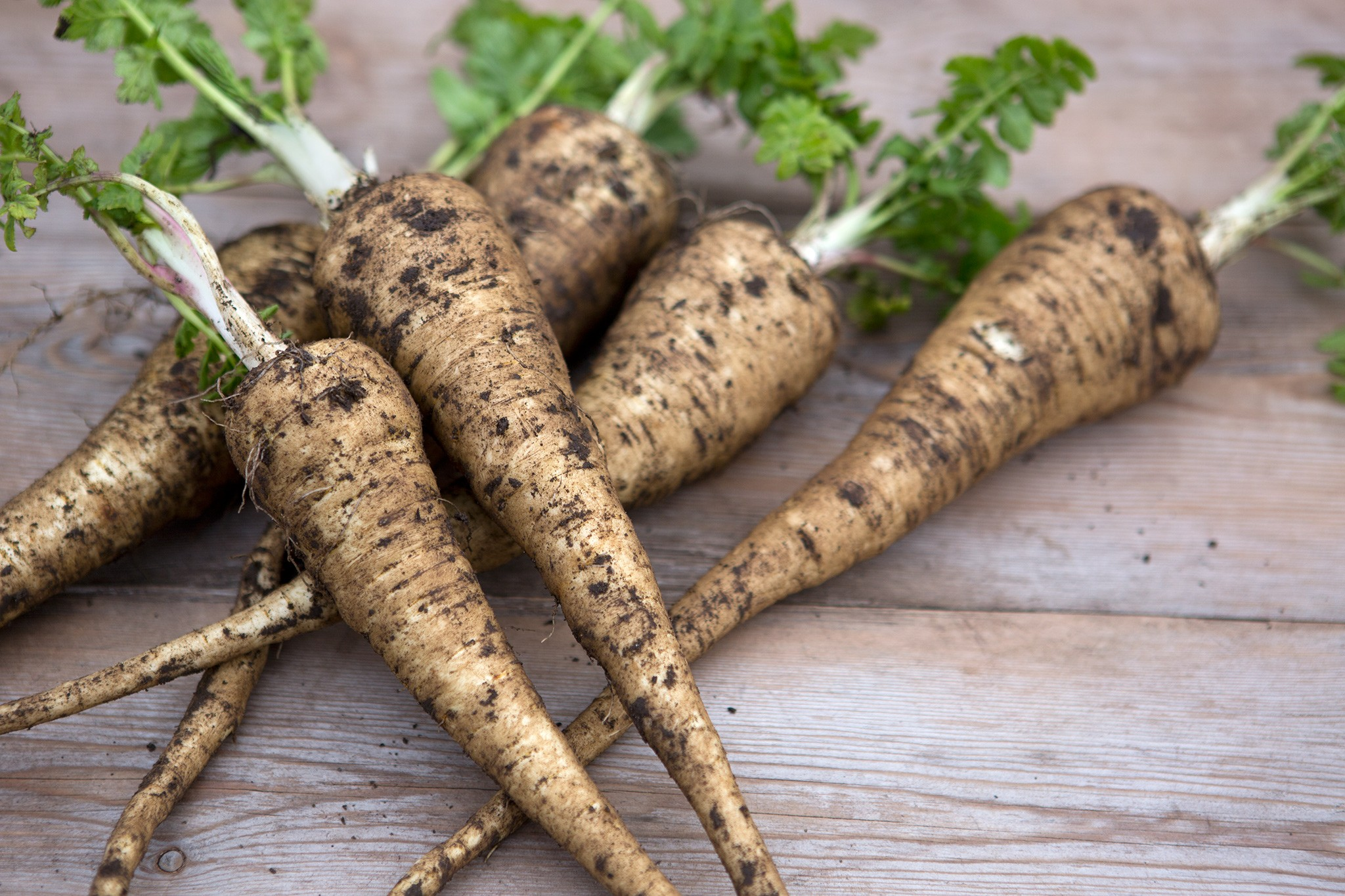 Picked harvested parsnips