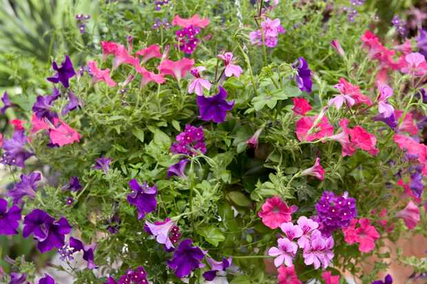 Petunia and diascia hanging basket