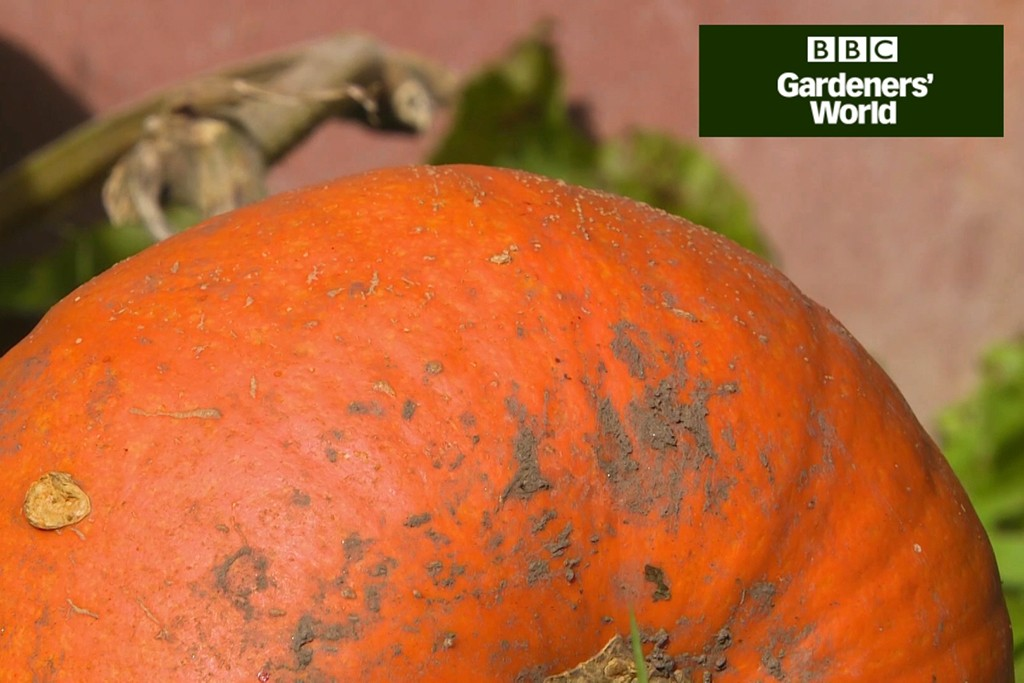 Sowing pumpkin and courgette seeds video