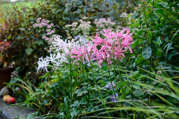 Pink nerine and astrantia flowers