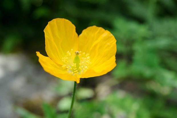 welsh-poppy-papaver-cambricum-2