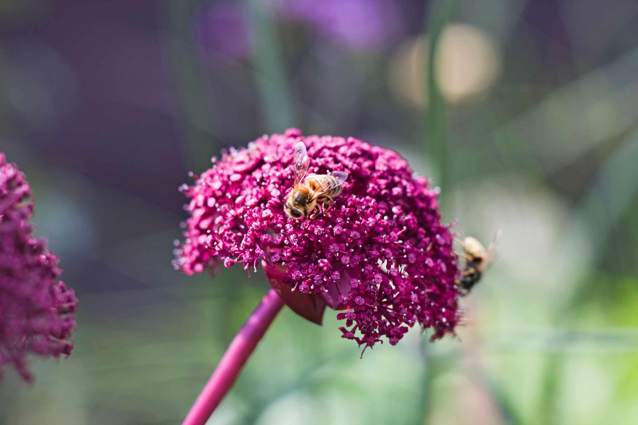 Bees on a magenta flowerhead