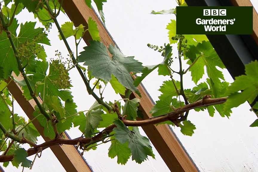 How to establish a grapevine (video)