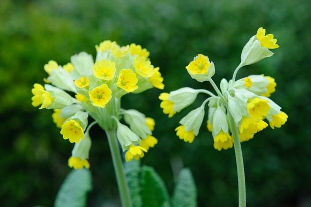 Five perennials for april flowers gardenersworld attractive mounds of foliage give rise to lemony yellow flowers that last from april to may try planting in a window box with wood anemones or in a mightylinksfo