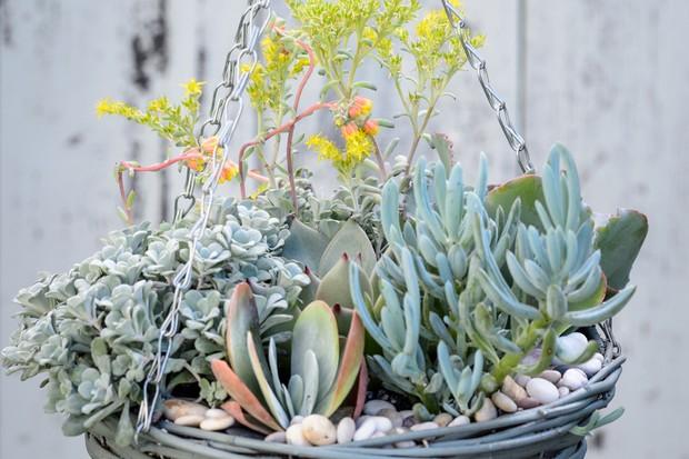 succulent-hanging-basket-with-echeverias-and-sedums-2