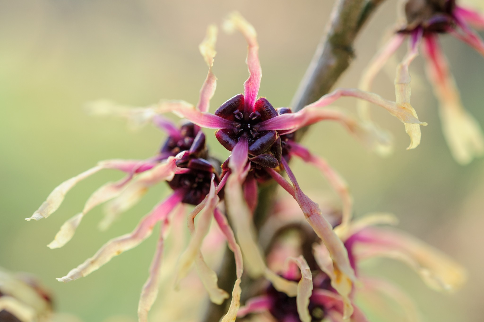 Hamamelis x intermedia 'Strawberries and Cream'