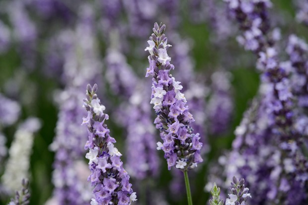 Best lavenders to grow - 'Gros Bleu'