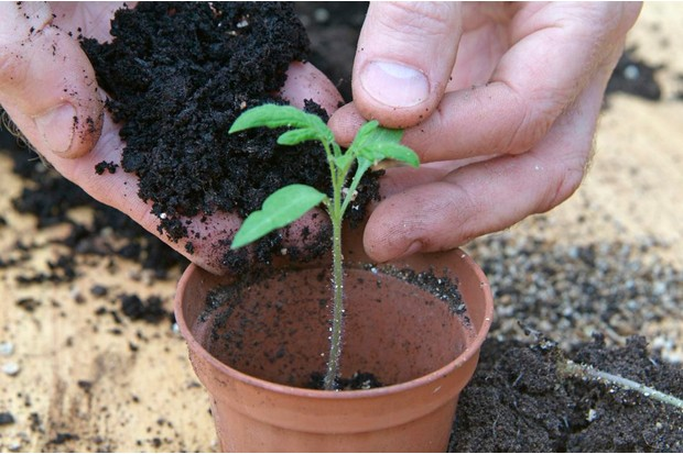 How to sow tomato seeds - potting on the tomato seedlings
