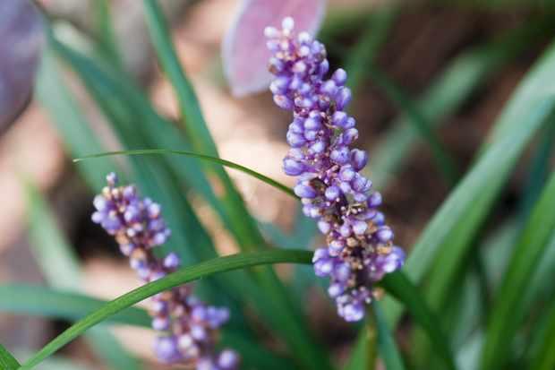 lilyturf-liriope-muscari-2