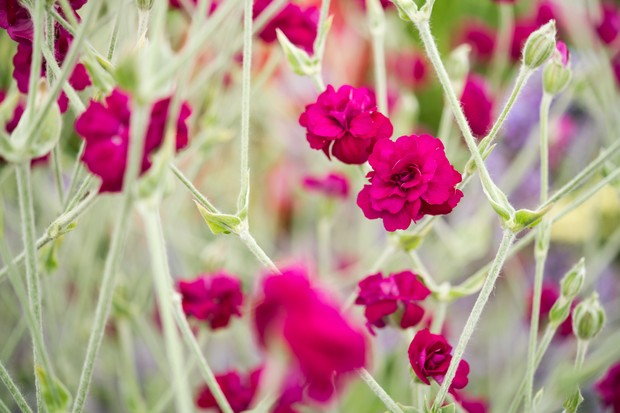 Deep-pink rose campion flowers on silver-green foliage