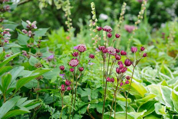 Dark pink astrantias in a border with hostas