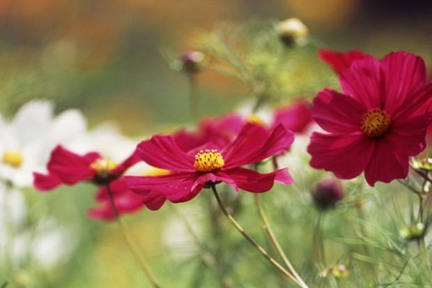 Cosmos: large red blooms of 'Gazebo Red'