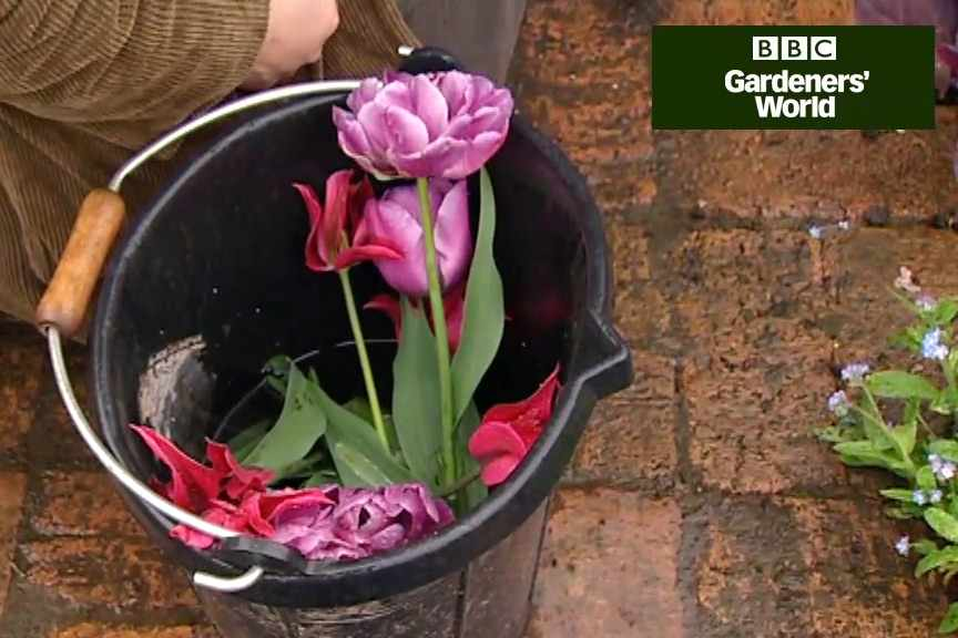 How to pick tulips