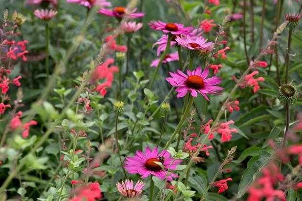 Bright-pink echineceas