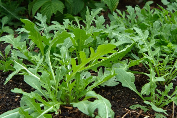 rocket-growing-in-the-soil-2