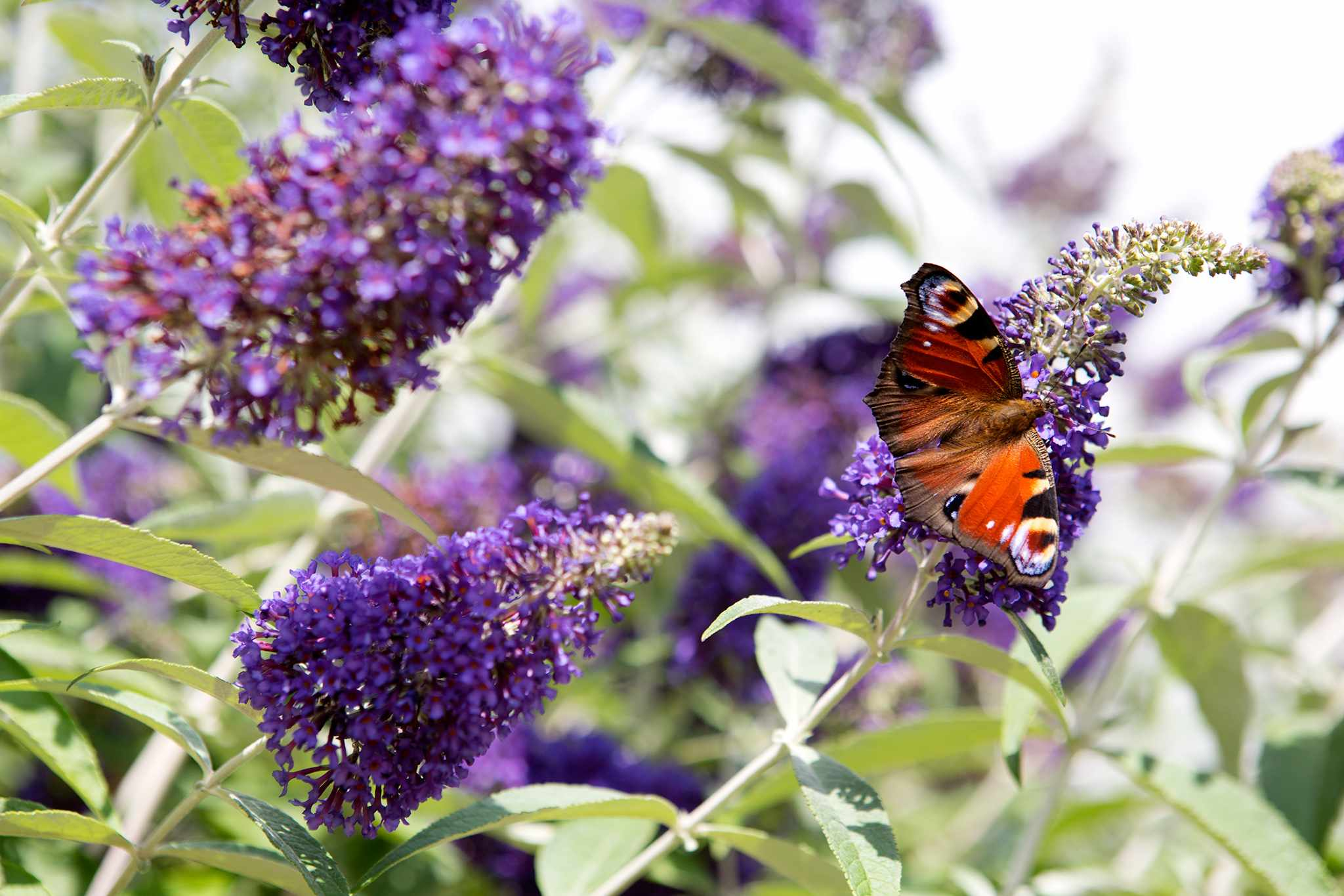 Plants for stony soil - buddleja