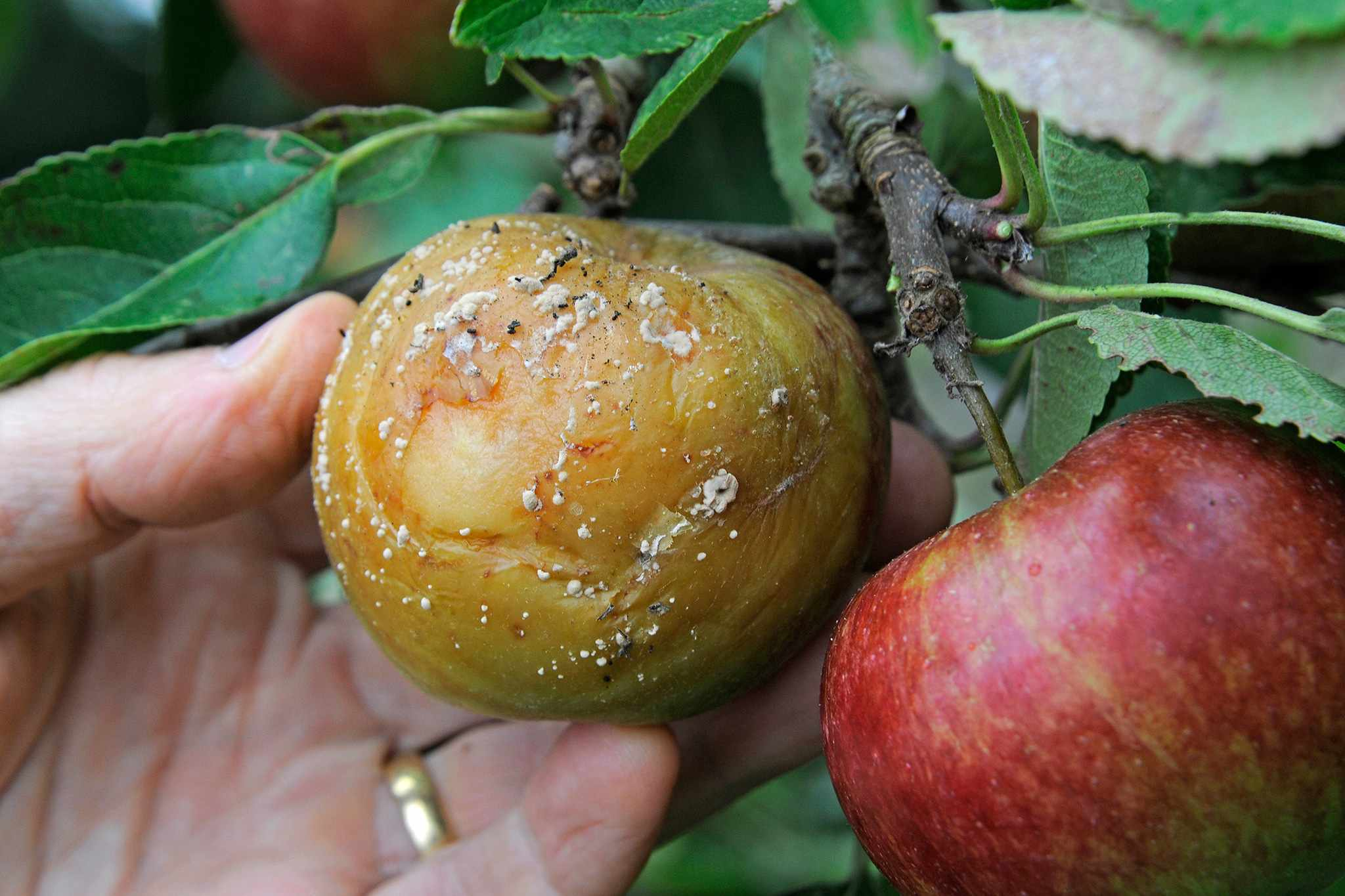 An apple affected by brown rot