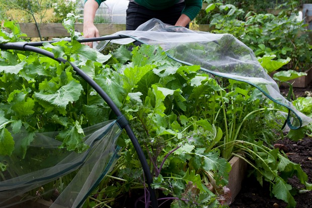 Covering young veg plants with fleece for protection
