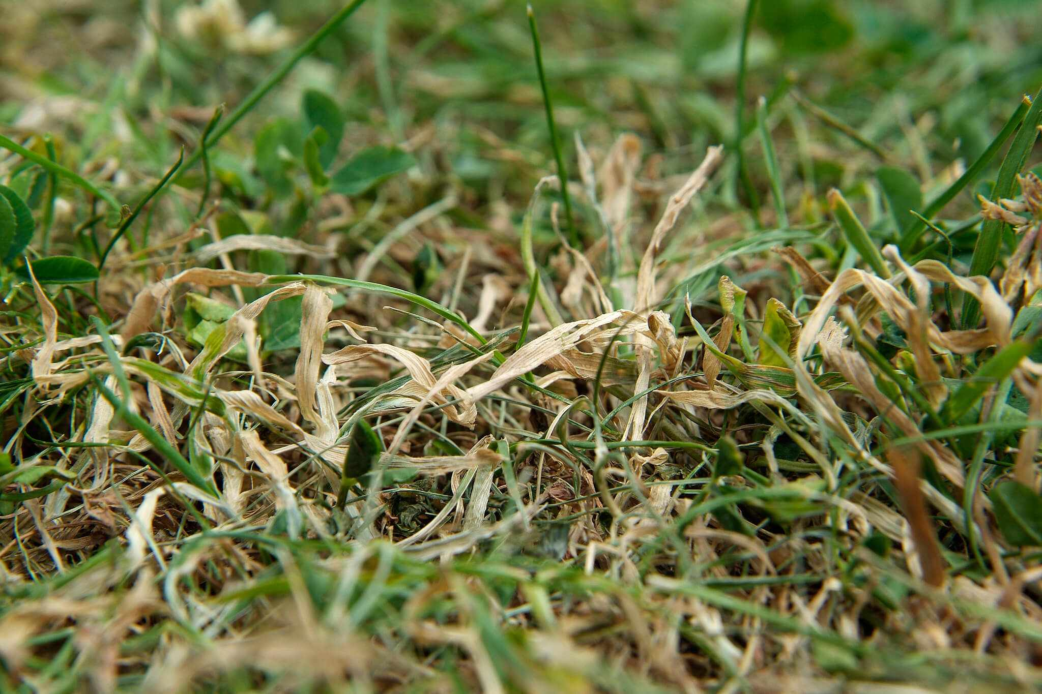 Lawn in drought
