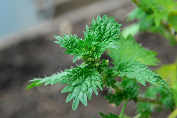 young-nettles-3