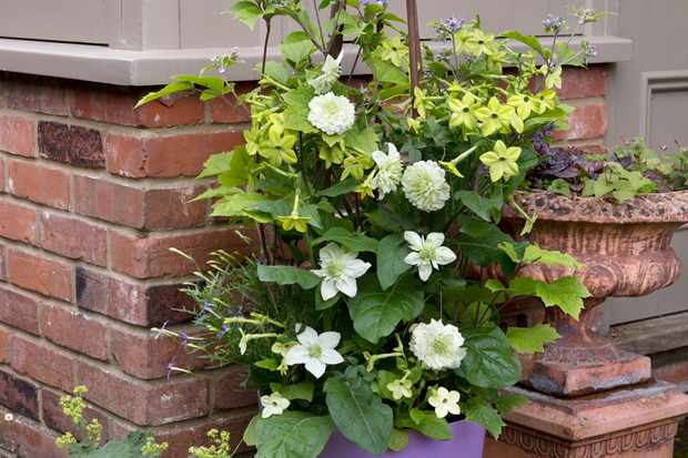nicotiana-and-clematis-container-2