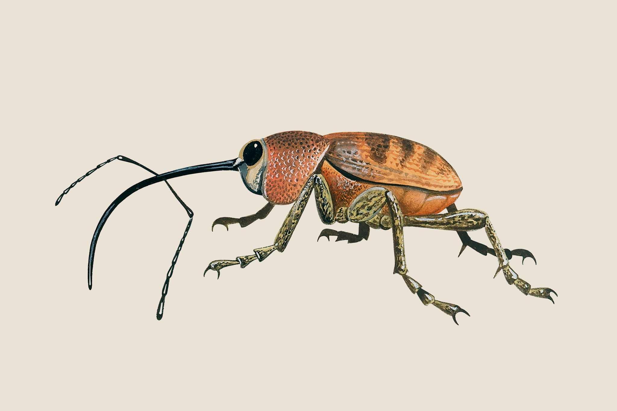Garden wildlife identifier: weevils and flower beetles