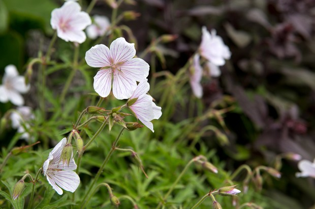 Pink-lined white flowers of a hardy geranium or cranesbill