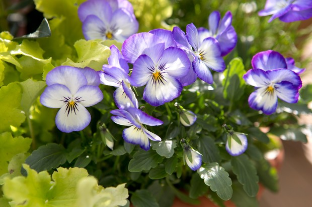 Purple and white winter pansies