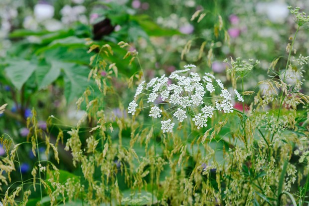 Pretty white umbels of Bishop's flower, amongst grasses