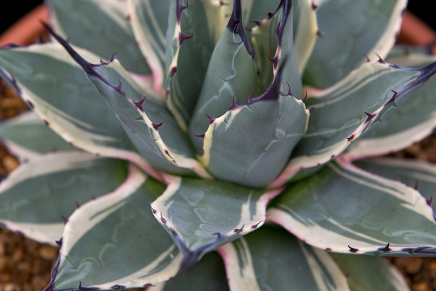 agave-parryi-2