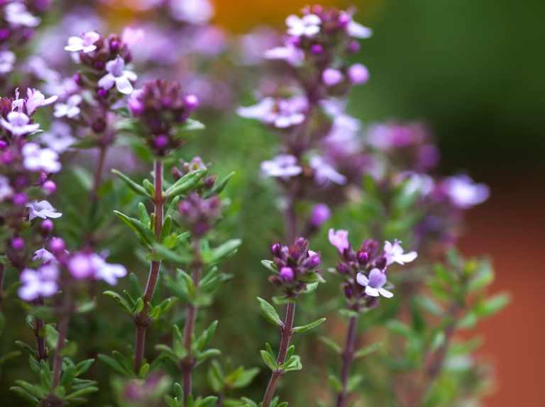 Six essential perennial herbs
