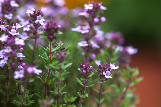 Mauve thyme flowers