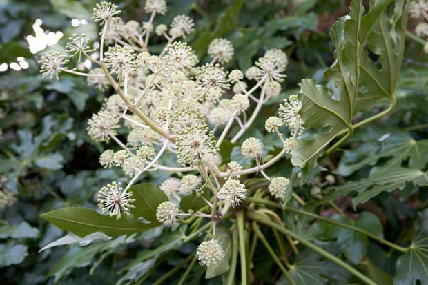 Cream flowers spikes and glossy foliage of <em> Fatsia japonica</em>