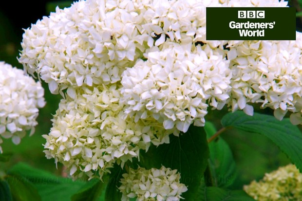 How to plant a hydrangea