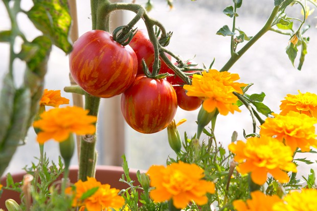 Tomatoes ripening beside marigold flowers