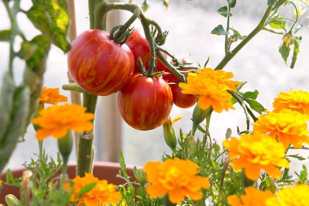 Tomatoes ripening beside marigold flowers