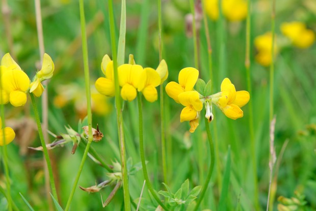 birds-foot-trefoil-lotus-corniculatus-foliage-and-flowers-2