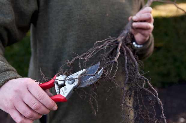 Trimming the roots on a bare-root hedge