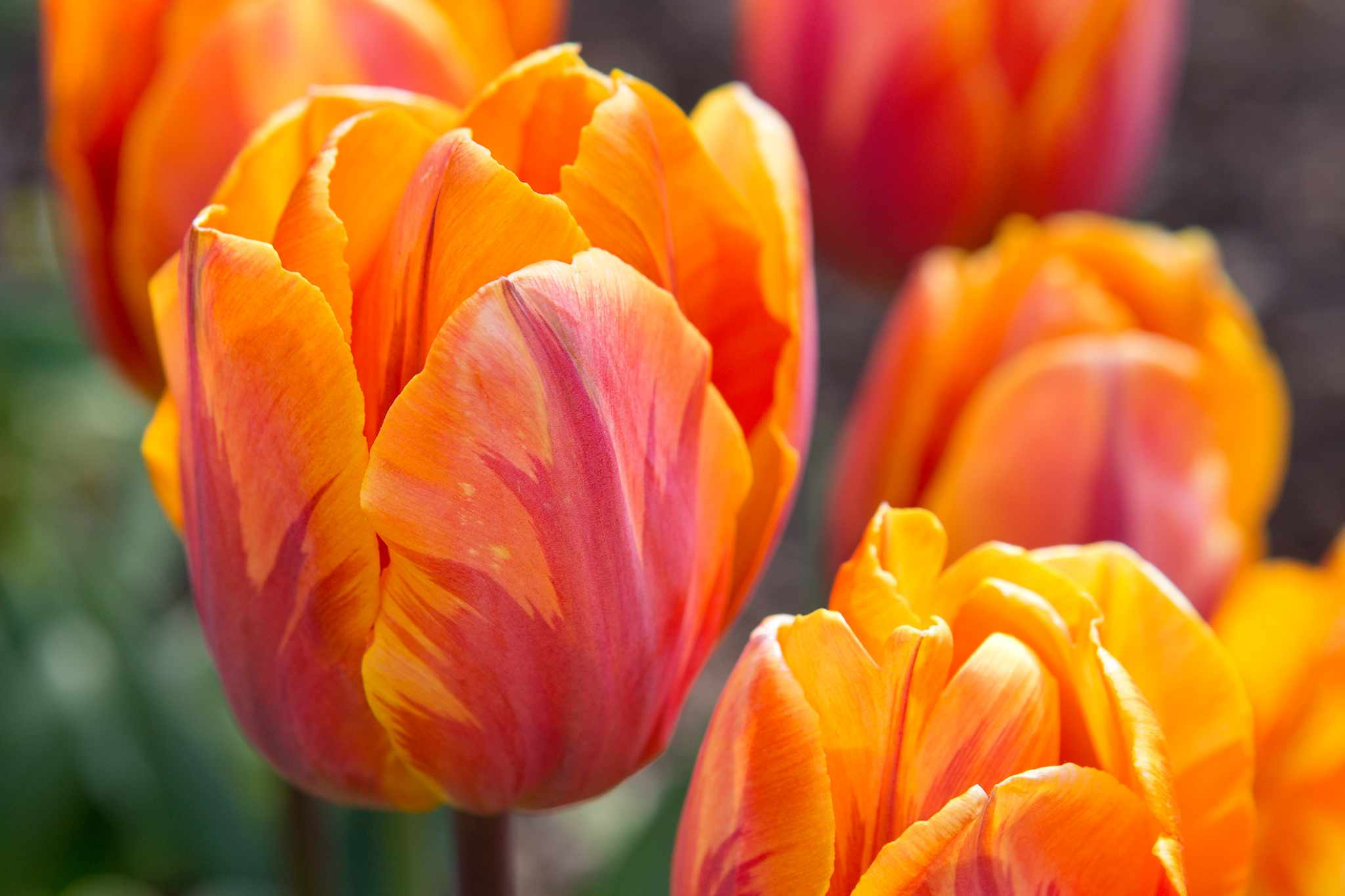 Favourite Orange Tulips to Grow