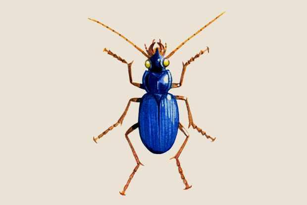 blue-ground-beetle-2