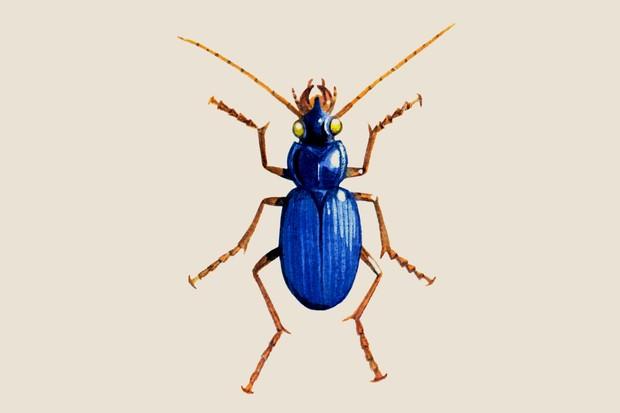 Blue ground beetle (Leistus spinibarbis) illustration