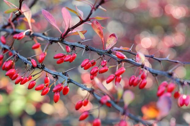 Crimson berberis berries