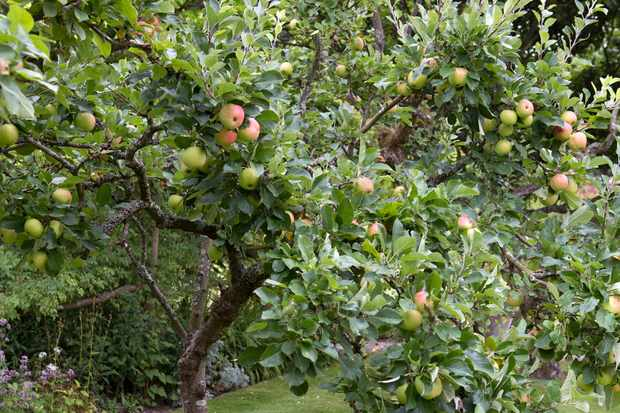 Fruits in apple tree