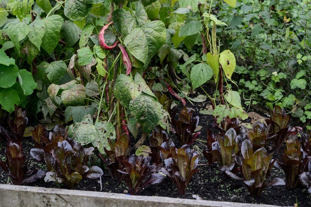 Lettuces growing beneath climbing beans