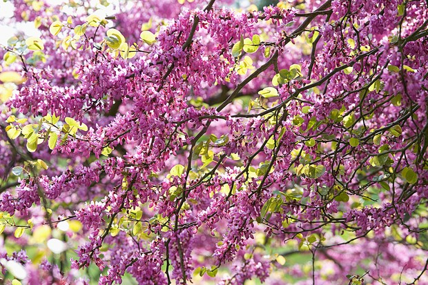 judas-tree-cercis-siliquastrum-2